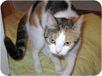 Domestic Shorthair Cat for adoption in Markham, Ontario - Marbles