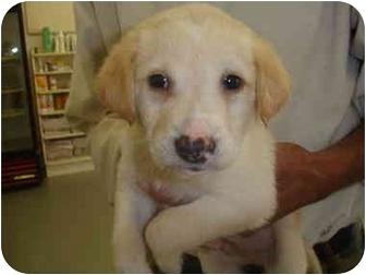 Golden Retriever/Labrador Retriever Mix Puppy for adoption in Old Bridge, New Jersey - Sherif