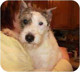 Schnauzer (Miniature)/Wirehaired Fox Terrier Mix Dog for adoption in North Benton, Ohio - Bootsie