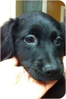 Labrador Retriever Mix Puppy for adoption in Norwich, Connecticut - Stormi