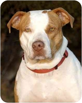 American Pit Bull Terrier Mix Dog for adoption in El Segundo, California - Sarah
