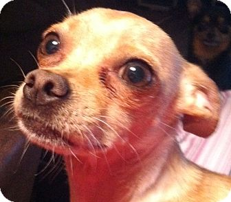 Chihuahua Mix Dog for adoption in Seattle, Washington - Tanner