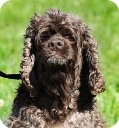 Cocker Spaniel Mix Dog for adoption in Freeport, Maine - Bo
