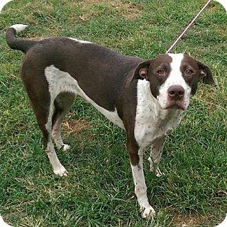 Labrador Retriever/Pointer Mix Dog for adoption in Moulton, Alabama - Sugar