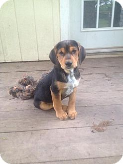 Jack Russell Terrier/Labrador Retriever Mix Puppy for adoption in Miami, Oklahoma - Lily