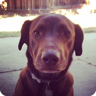 Labrador Retriever/German Shorthaired Pointer Mix Dog for adoption in Pleasanton, California - Toby