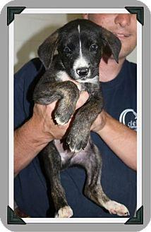 Boxer/Labrador Retriever Mix Puppy for adoption in Cleburne, Texas - Linden