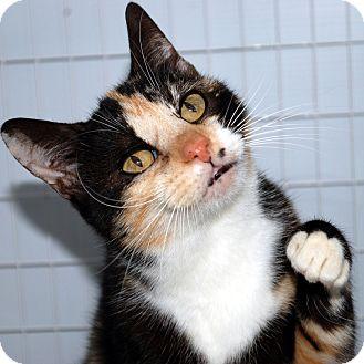 Domestic Shorthair Cat for adoption in Hayden, Idaho - Daphne