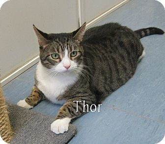 Domestic Shorthair Cat for adoption in Jackson, New Jersey - Thor