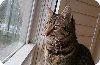 Domestic Shorthair Cat for adoption in Atlanta, Georgia - Caspi