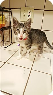 Domestic Shorthair Kitten for adoption in San Diego, California - CHEVY