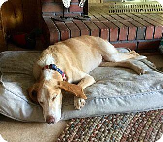 Hound (Unknown Type) Mix Dog for adoption in Virginia Beach, Virginia - Simon