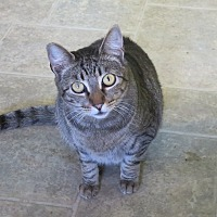 Adopt A Pet :: Tavie - Coos Bay, OR
