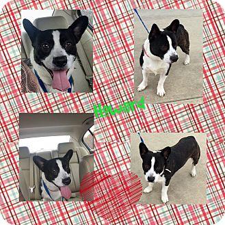Corgi/Boston Terrier Mix Dog for adoption in HAGGERSTOWN, Maryland - HOWARD