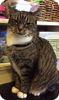Domestic Shorthair Cat for adoption in Breinigsville, Pennsylvania - Kashi