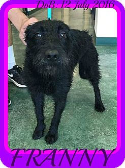 Patterdale Terrier (Fell Terrier) Mix Dog for adoption in Manchester, New Hampshire - FRANNY