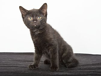 Bombay Kitten for adoption in Nashville, Tennessee - Lexus