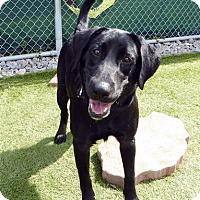 Adopt A Pet :: Duke #2 - Fairfax, VA