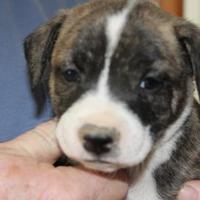 Adopt A Pet :: Bosley - New palestine, IN