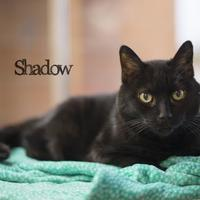 Domestic Shorthair/Domestic Shorthair Mix Cat for adoption in West Des Moines, Iowa - Shadow