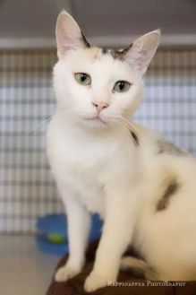 Domestic Shorthair/Domestic Shorthair Mix Cat for adoption in Carrollton, Texas - Ms.Purrty