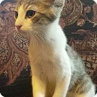 Adopt A Pet :: Serafini - Chicago, IL
