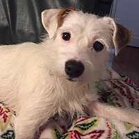 Adopt A Pet :: Sugar - Greensboro, MD