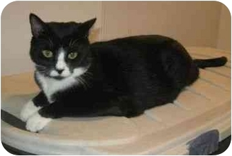 Domestic Shorthair Cat for adoption in Powell, Ohio - Lulu