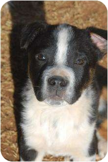 Border Collie/Boxer Mix Puppy for adoption in Astoria, New York - Lexington