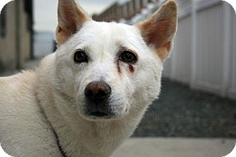 Jindo Dog for adoption in West New York, New Jersey - Gigi