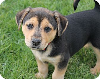 Labrador Retriever/American Pit Bull Terrier Mix Puppy for adoption in La Habra Heights, California - Fred