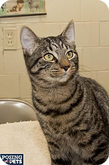 Domestic Shorthair Cat for adoption in Salem, Ohio - Butchie