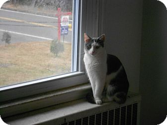 Domestic Shorthair Cat for adoption in Manchester, Connecticut - Lola