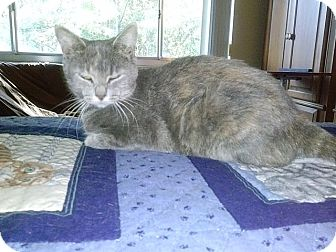 American Shorthair Cat for adoption in Tampa, Florida - Ivy