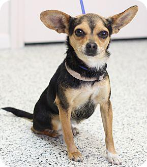 Chihuahua Dog for adoption in Chino Valley, Arizona - Honey