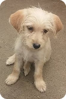 Shih Tzu/Terrier (Unknown Type, Small) Mix Puppy for adoption in Warwick, Rhode Island - Taylor