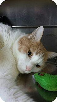 Domestic Shorthair Cat for adoption in Sauk Rapids, Minnesota - Pac Man