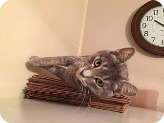 Russian Blue Cat for adoption in THORNHILL, Ontario - Naomi