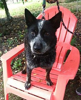 Australian Cattle Dog Mix Dog for adoption in Midlothian, Virginia - Mel