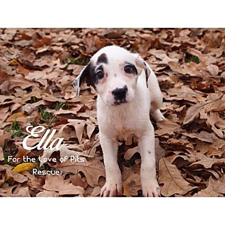 Catahoula Leopard Dog Mix Puppy for adoption in Shreveport, Louisiana - Ella