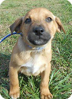 German Shepherd Dog/Shepherd (Unknown Type) Mix Puppy for adoption in Allentown, New Jersey - Basil