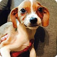 Adopt A Pet :: Blossom - Ocala, FL