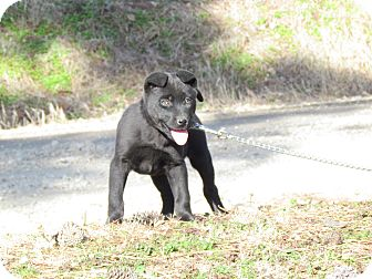 Labrador Retriever Mix Puppy for adoption in Hartford, Connecticut - OAKLEY