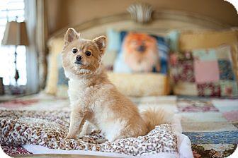 Pomeranian Dog for adoption in Dallas, Texas - Athena