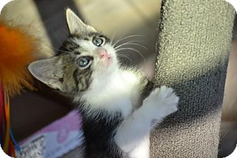 Domestic Mediumhair Kitten for adoption in Jacksonville, Florida - Boots & Stretch