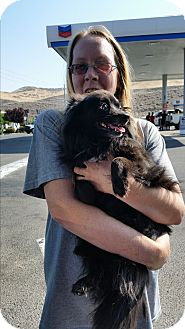 Pomeranian Mix Dog for adoption in Reno, Nevada - Pebbles