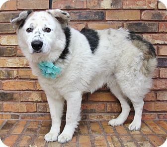 Border Collie Mix Dog for adoption in Benbrook, Texas - Sunflower