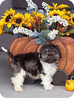 Miniature Schnauzer Puppy for adoption in Chandler, Arizona - Super Fudge