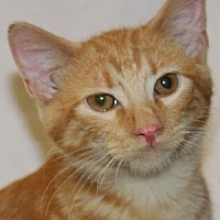 Domestic Shorthair Kitten for adoption in Savannah, Missouri - Chester