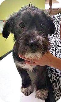 Schnauzer (Miniature)/Terrier (Unknown Type, Medium) Mix Puppy for adoption in Boulder, Colorado - Mason